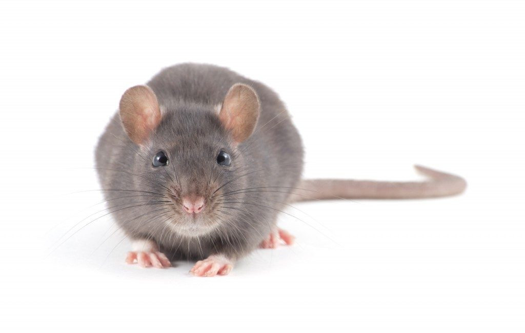 front view of a rat