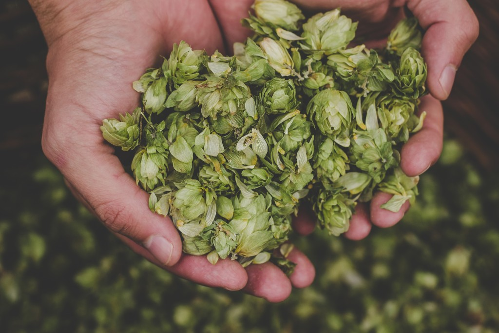 Man holding green hop cones